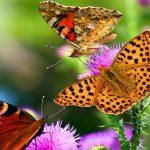 شريحة الفراشة